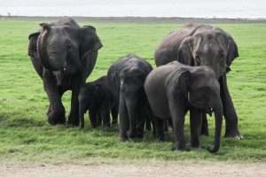 sri-lanka-11-of-44 minneriya national park